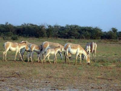 Indian Wild Ass Sanctuary in Kutch
