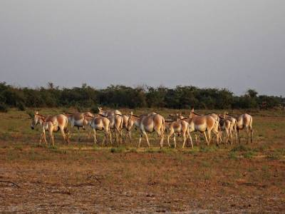 Wild Ass Sanctuary in Little Run of Kutch