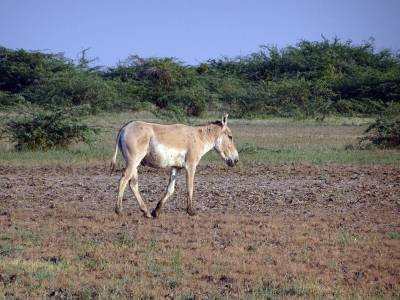 Indian Wild Ass Sanctuary in Little Run of Kutch