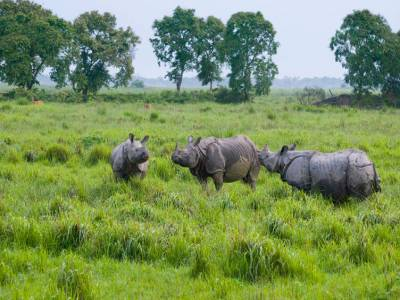one horned rhinoceroses