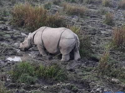 one-horned rhinoceroses
